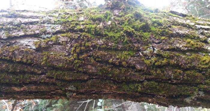 Moss on a tree—not a metaphor.